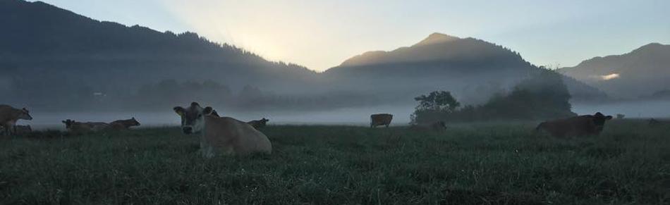 CowsFog